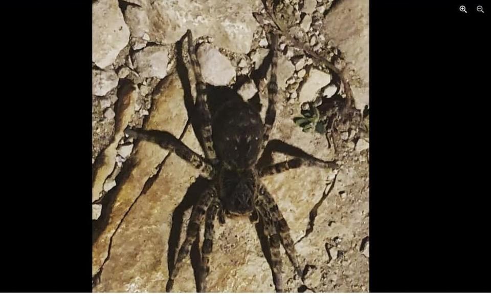 На фото южнорусский тарантул