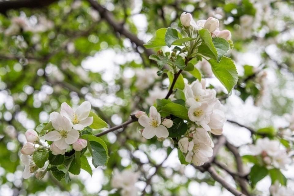 В Новосибирской области садоводы пожаловались на массовую гибель яблонь.